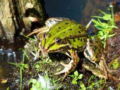 frog pond  amphibian