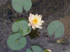 Water Features- Water Lilly