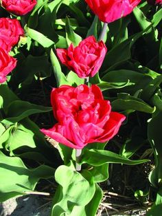 "Elisabeth - glowing red flower with double petals throughout which will fill a pot with blooms if forced; perfect also for the Patriotic Garden; 10""-12""."