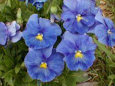 periwinkle_blue_pansies.jpg (153868 bytes)