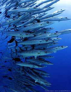Barracuda, Sudanese Red Sea. Photographer: Jackie Campbell, Ireland.