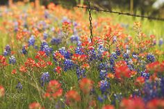 Bluebonnets and Indian Paintbrushes - null