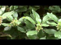 Parietaria, ( Parietaria officinalis L.)