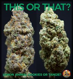 #ThisOrThat: Lemon Animal Cookies or Tangie?  Lemon Animal Cookies by @BlockheadBrands: Lemon Animal Cookies is a hybrid strain. It has a sweet & sour aroma with heavy full-body effects that will impress any veteran consumer.  Tangie by @BlockheadBrands: This #sativa strain produces sticky buds that provide #euphoric yet relaxed effects. Its citrus heritage is the most evident in its refreshing tangerine aroma.  Learn more about us at http://ift.tt/2vLwbqN  #BlockheadBrands #TheFinestQuality…
