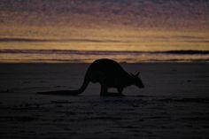 Kangaroos at Dawn - Cape Hillsborough - This Wild Life of Mine Big Draw, Big Country, Destin Beach, Kangaroos, Wild Life, Mammals, Dawn, The Good Place, Sunrise