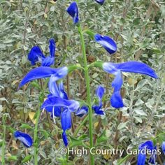 This large growing subtropical sage is a stunner in mid-to-late summer, through fall when it comes into flower. The enormous, deep blue parrot-beaked flowers are held over big fuzzy deep green leaves giving the plant a look of the tropics.
