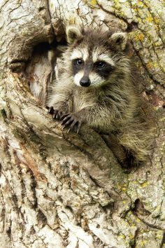 North American Raccoon Kit Procyon Photograph by Debbie Dicarlo