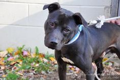 12 / 14      Petango.com – Meet Chestnut, a 1 year 2 months Terrier, Pit Bull / Mix available for adoption in WANTAGH, NY Contact Information Address  3320 Beltagh Avenue , Unit, WANTAGH, NY, 11793  Phone  (516) 785-5220  Website  http://toh.li/animal-shelter  Email  animalinfo@tohmail.org