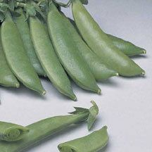 Sugar Prince Snap Pea -Good choice for canning and freezing. Highly productive due to an excellent disease resistance package. Flavorful stringless pods. Compact 27 inch vines.