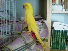 Imagini pentru papagali agapornis Parrot, Bird, Parrot Bird, Birds, Parrots