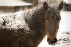 Hucul horses :)