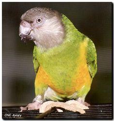 Senegal Parrot.
