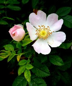Rosa canina, the Dog Rose. Botanical Flowers, Exotic Flowers, Pretty Flowers, Types Of Flowers, Wild Flowers, Rose Reference, Heritage Rose, Love Garden, Belleza Natural