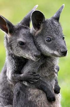 baby bunny I love baby animals. Literally I'm way too obsessed with baby animals. baby Cute Animal Pictures Not sure if these are kangaroos . Cute Baby Animals, Animals And Pets, Funny Animals, Wild Animals, Exotic Animals, Strange Animals, Animal Hugs, My Animal, Animal Babies