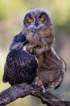 ~~Owl Pose | juvenile Iberian Eagle Owl in a cooling down pose due to the excessive heat in Southern Spain | by Mario Moreno~~