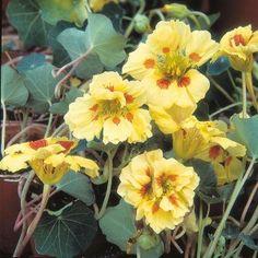 Nasturtium Peach Melba Mr Fothergills Range Seed - Irish Plants Direct