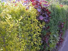 Creative Landscape, Hedges, Exterior, Jasper, Gardening, Lawn And Garden, Living Fence, Shrubs, Outdoor Rooms