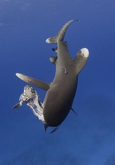 oceanic white tip shark - Bing images