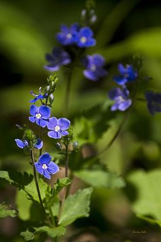 Close-up macro photograph of pretty blue Creeping Speedwell flowers blooming in spring.   SHOP MY COMPLETE COLLECTION AT:  www.rollosphotos.com