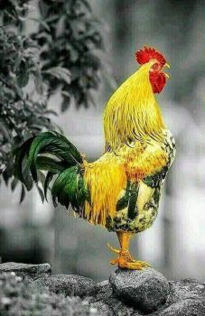 Solve HENRY THE YELLOW FELLOW☺☺☺ jigsaw puzzle online with 96 pieces Fancy Chickens, Chickens And Roosters, Pet Chickens, Raising Chickens, Chickens Backyard, Pretty Birds, Beautiful Birds, Animals Beautiful, Rooster Painting
