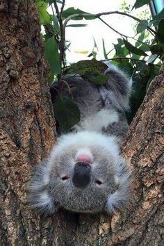 koala trying to see how the world really looks from the land down under.