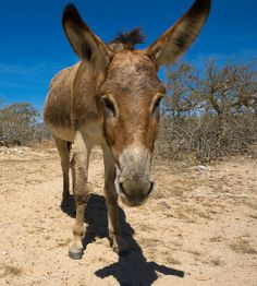 Wild donkey in the desert of Baja California, Mexico