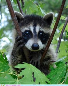 """Ever since I read """"Rascal"""" as a kid, I have always wanted a pet raccoon!"""