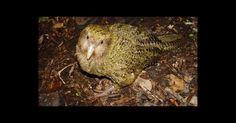 O kakapo, um papagaio que não voa, pode ser o pássaro mais longevo da Terra, a sua expectativa média de vida é de 90 anos, mas também está entre os mais raros. Uma vez comum em toda a Nova Zelândia, a espécie foi destruída nos últimos séculos por caçadores humanos, e por outros animais predadores. Os esforços de resgate a partir de 1990 fez com que a população de hoje tenha 125 kakapos, ainda considerada criticamente em perigo.  Fotografia: Wikimedia Commons.