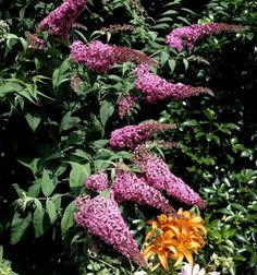 Buddleia: planter et tailler – ComprendreChoisir