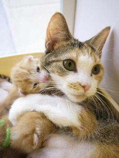 Calico mamma hugging her cute little ginger kitten(ᵔᴥᵔ)