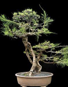 Transformation in Bonsai by Robert Steven