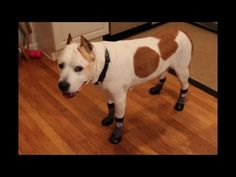 Cooper (14 yrs) was having trouble remaining stable on his family's hardwood floors. See how he does when wearing his Grippers dog socks. #seniordog #grippers #dogsocks