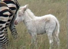 White zebras are born with tan stripes, tan muzzles and dark eyes.  They are leucistic not albino.