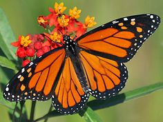 Monarch Danaus plexippus Milkweed Schmetterlinge und Raupen Südeuropas Griechenland Italien Südfrankreich Spanien Portugal Korsika Sardinien Kroatien Schmetterling