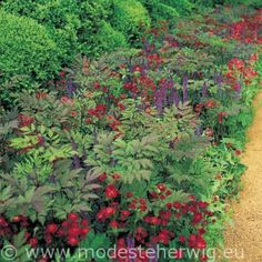 fabulous red and purple border: Cimicifuga, Salvia nemorosa Mainacht, Astrantia major Claret, Centranthus ruber Coccineus (Design P.Oudolf  A.Maynard)