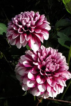 Dahlia 'Patches'