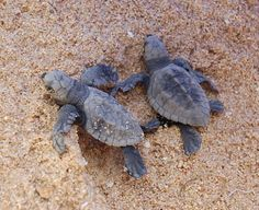Baby sea turtles making the journey our to the ocean
