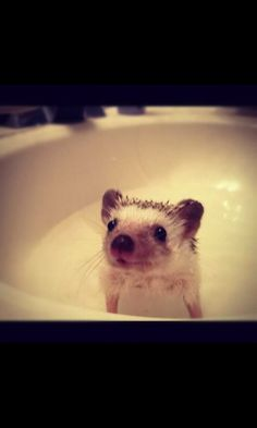 Hedgehog bath...OMGosh, too cute!! I WANT A PET HEDGEHOG IS THAT TOO MUCH TO ASK FOR!?.