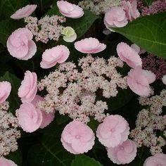 Hortensia - Hydrangea macrophylla Camino Plus Hortensia Hydrangea, Hydrangea Macrophylla, Hydrangea Flower, Pink Garden, Shade Garden, Garden Shrubs, Garden Plants, Trees And Shrubs, Trees To Plant