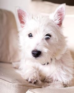 West Highland Terrier Morgan