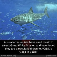 Great White Sharks regularly meet up in the middle of the pacific ocean in an area known as the White Shark Cafe. Black Queen, Ac Dc, Funny Shark Pictures, Shark Pics, Weird Facts, Fun Facts, Awesome Facts, Interesting Facts, Great White Shark Facts