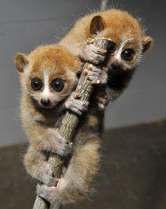 Pigmy slow loris twins