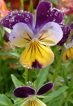 Flowers And Garden Ideas : Pretty violas Close-Up Amazing Flowers, My Flower, Beautiful Flowers, Pansies, Belle Photo, Spring Time, Beautiful Gardens, Mother Nature, Planting Flowers