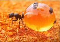 Honeypot ant The honeypot ant is a perfect example of nature's strategy to survive in bad time. The honeypot ant or honey ant is a normal ant species, but they have adopted a special. Beautiful Bugs, Amazing Nature, Animals Beautiful, Cool Insects, Bugs And Insects, Ant Species, Desert Animals, Photo Animaliere, Cool Bugs