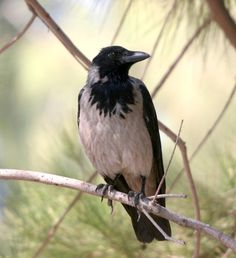 crows perched - Google Search