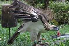 THE MIGHTY MONKEY-EATING EAGLE OR HARIBON FOUND IN DAVAO CITY, PHILIPPINES