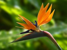 Bird of Paradise flo