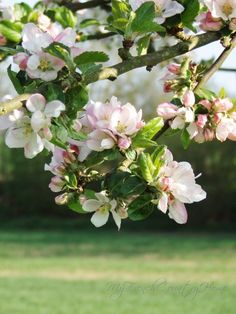 loving blossom time - MY FRENCH COUNTRY HOME