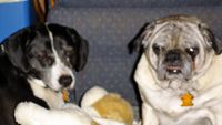 Hi! My name is Napoleon (#452) and I'm an adorable 8 year old fawn boy who loves to play. The guy next to me is my bestest buddy in the whole world - his name is Julius (#453) and he is an 8 year old beagle mix. We love playing together and we...
