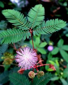 Health Benefits Of Mimosa Pudica Beautiful Flowers Garden, Amazing Flowers, Room With Plants, House Plants, Touch Me Not Plant, Mimosa Plant, Mimosa Pudica, Mimosa House, Lactating Mother